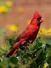 [IMAGE] Northern Cardinal