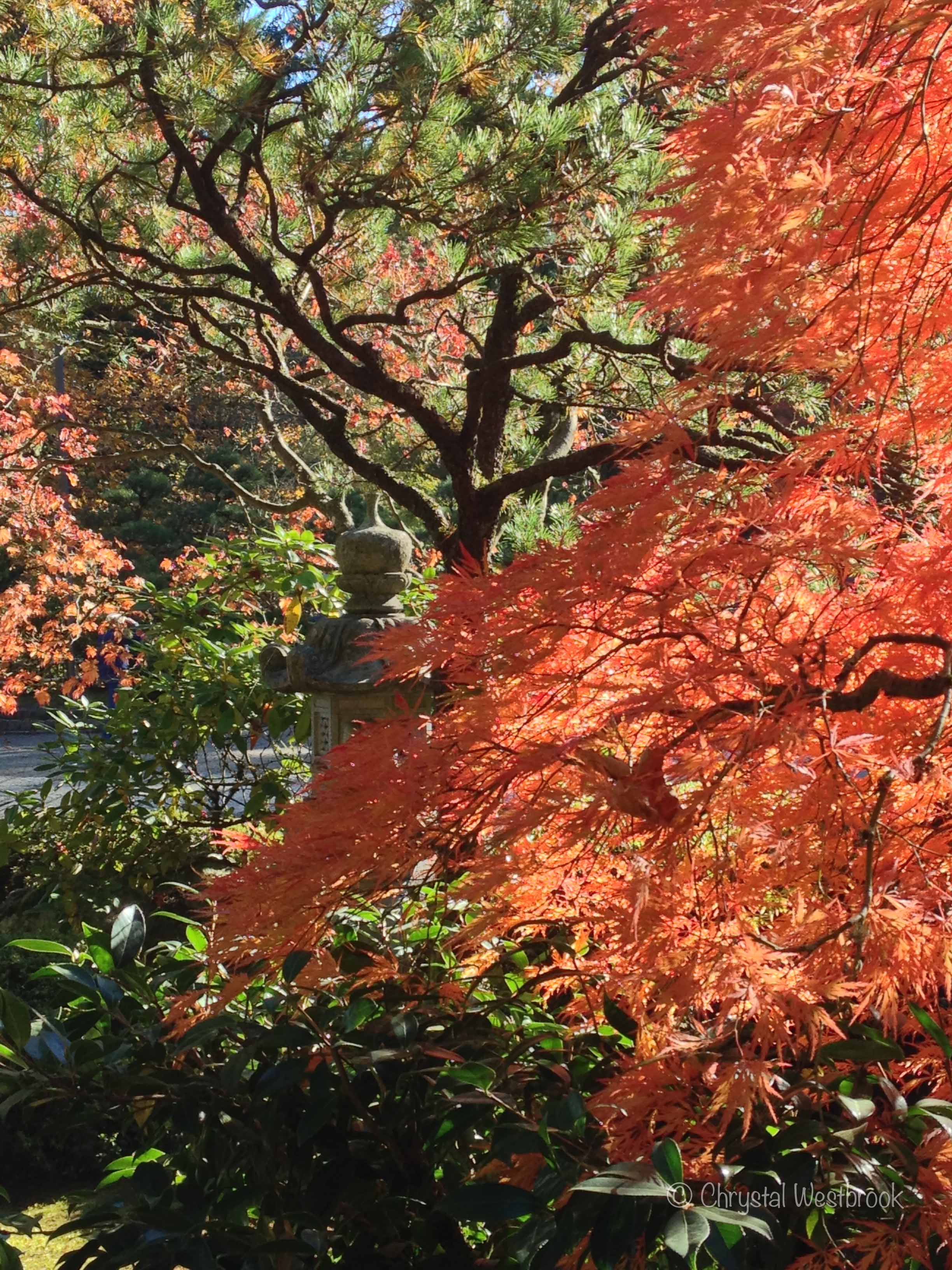 [IMAGE] Sunlit Japanese maple tree in fall