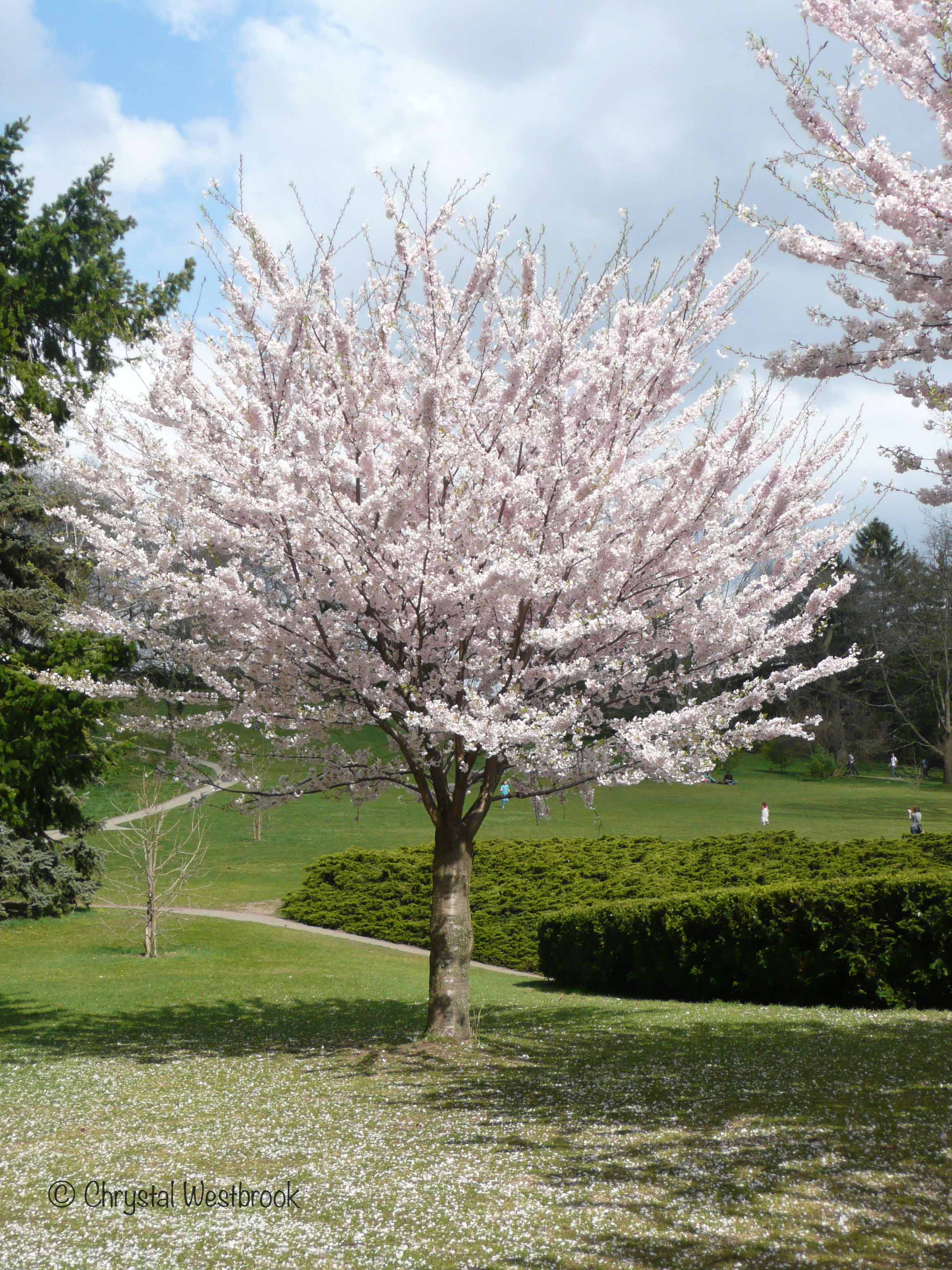 [IMAGE] Cherry tree in blossom